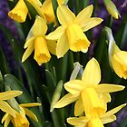 Miniature Daffodils by vivsworld