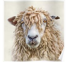 Leicester Longwool Sheep Poster
