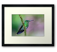 Green-Crowned Brilliant Hummingbird - Costa Rica Framed Print