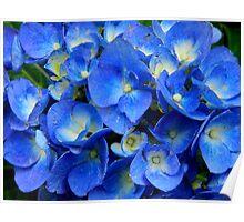 Blue Hydrangea in the Garden    ^ Poster