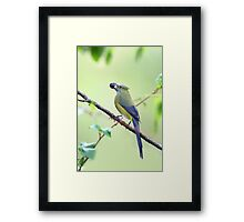 Long-tailed Silky-Flycatcher - Costa Rica Framed Print