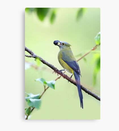 Long-tailed Silky-Flycatcher - Costa Rica Canvas Print