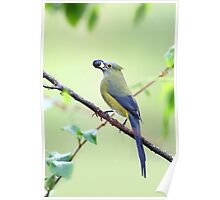 Long-tailed Silky-Flycatcher - Costa Rica Poster