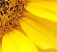 Sunflower by SweetLemon