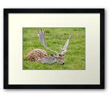 Fallow Deer sleeping on grass Framed Print