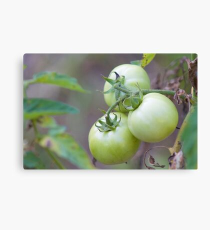 Growing Strong Tomato Photograph Canvas Print