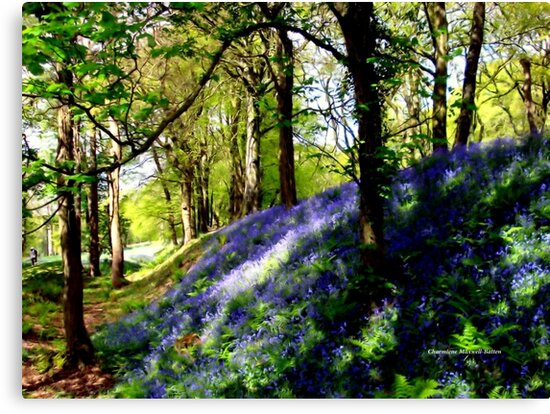 Bank of Bluebells by Charmiene Maxwell-Batten