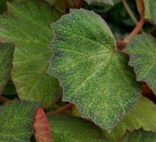 Lush Large Leaf Begonia  Sticker