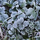 Morning Frost, Dunedin by Anny Arden