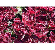 Texture with pink purple leaves. Photographic Print