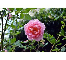 Pink rose on a natural green leaves background. Photographic Print