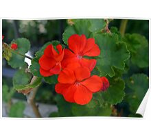Red powerful color flower and green leaves background. Poster