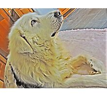 Maremma dog Photographic Print
