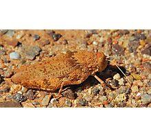 Outback Grasshopper Photographic Print