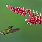Coppery-headed emerald hummingbird - Costa Rica by Jim Cumming