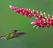 Coppery-headed emerald hummingbird - Costa Rica by Jim Cumming