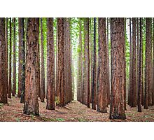 East Warburton Redwood Forest Photographic Print
