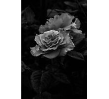 The Garden Rose Photographic Print