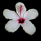 White Hibiscus Isolated on Black Background by taiche