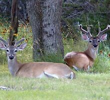 Young Bucks by Penny Odom