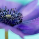 ANEMONE IN AUGUST by Bloom by Sam Wales