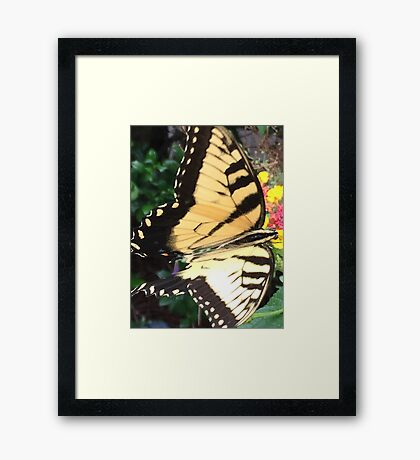 Eastern Tiger Swallowtail (Glaucus) AKA-Tiger Swallowtail If you like, please purchase, try a cell phone cover thanks Framed Print