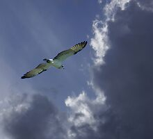Sea Eagle on a spring afternoon by pcbermagui