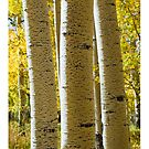 Aspen Trees by Tim McGuire
