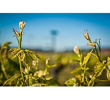 Young Vines Photographic Print