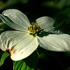 Blossom Of The Dogwood Tree by Geno Rugh
