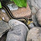 Eastern Garter Snake by Sharon Woerner