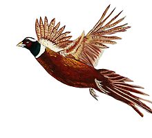 Pheasant  by maggie326
