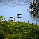 Wading Black Ibis by Sharon Woerner