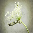 Swallowtail Caterpillar on Queen Anne's Lace by LouiseK