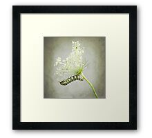 Swallowtail Caterpillar on Queen Anne's Lace Framed Print