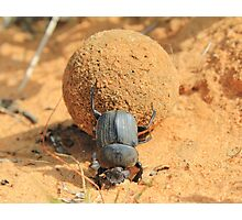 Got to Love your Job - Dung Beetle Bounty Photographic Print