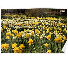 Daffodil Fields Poster