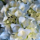 Blue Lace Hydrangea by Caren