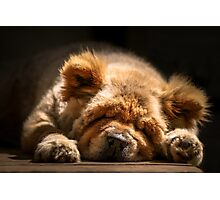 Snooze - Ms Tea Chow-Chow Photographic Print