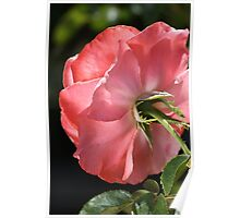 flower-rose from behind Poster