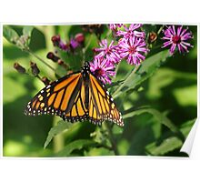 Monarch On Asters Poster