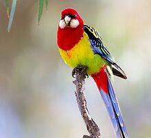 Eatern Rosella and Gum leaves by Seesee