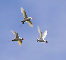 Tropic Birds at play by Seesee