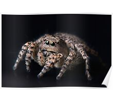 """Philosophy"" Adult Female Jumping Spider Asianellus festivus Poster"