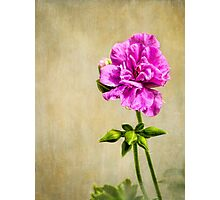 Just a geranium Photographic Print