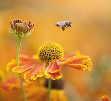 Helenium Collection by Jacky Parker