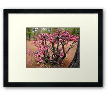 Impala Lily, Kruger National Park, South Africa Framed Print