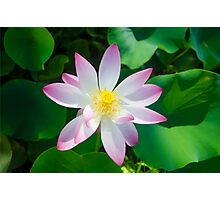 Beautiful lotus Photographic Print