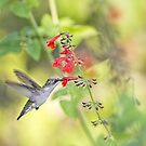 Hummingbird and Red Salvia by Bonnie T.  Barry