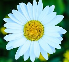 Golden Marguerite Daisy by thegaffphoto
